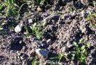 ニンニク畑。雑草を生やしてしまいました。
