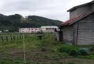 ニンジン畑で収穫中