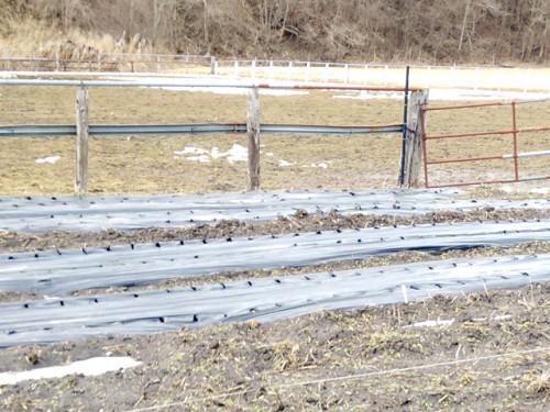雪が解けたにんにく畑