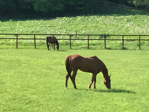 新しい牧場で青草を食べる馬たち