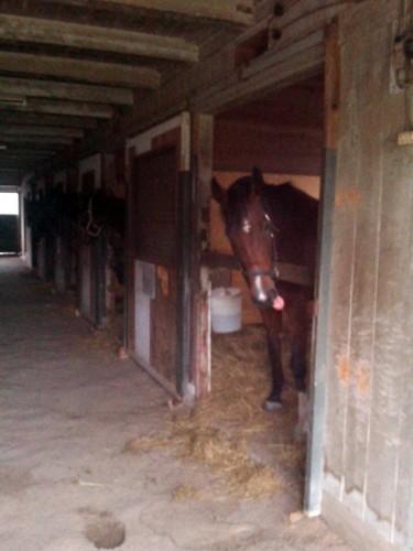 厩舎で退屈そうな馬たち