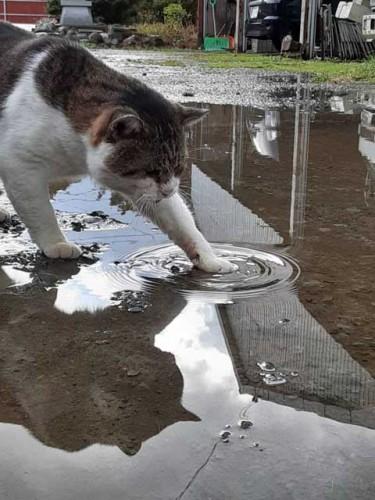 水たまりに前足を入れる猫